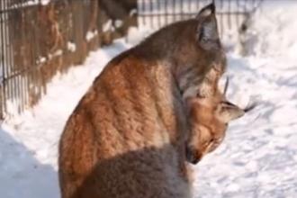 Зоопарк Барнаула опубликовал видео нежности двух рысей