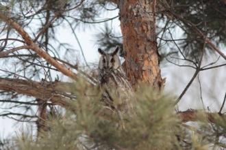 В Барнауле заметили ушастую сову