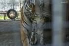 Тигрята делают свои первые шаги в зоопарке Барнаула