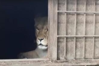 Львица Ая родила в барнаульском зоопарке