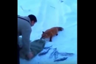 На Алтае сняли видео с дикой лисой