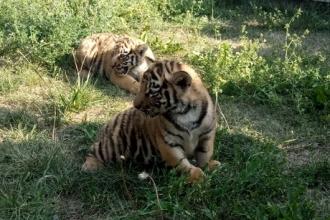 Барнаульский зоопарк показал прогулку тигрят и львят