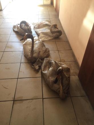 В Алтайском крае волонтеры спасают измазанных мазутом лебедей