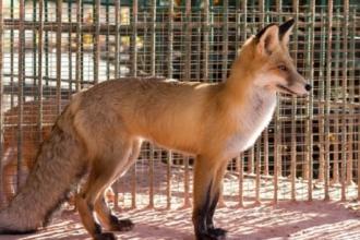 В зоопарке Барнаула теперь есть рыжая лиса