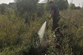 В Барнауле уничтожили дикорастущую коноплю