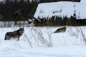 Морозы в Алтае заставили волков прийти в село