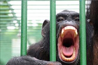 На Алтайский край попытались провезти шимпанзе без документов