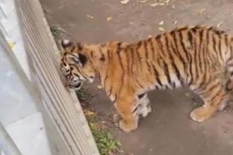 Барнаульсккий зоопарк показал тигренка после операции