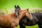 На Алтае украденная лошадь сбросила своего похитителя и сбежала